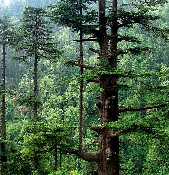 дерево для инфракрасной сауны